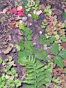 Poison oak among ferns