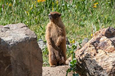 Marmot friend