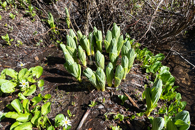 Looks like Skunk Cabbage coming up