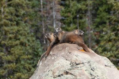 Marmot Family of Four!