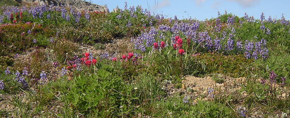 Lupin and paintbrush.