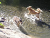 Parts of the hike went across or alongside a stream. Dang typical Retrievers couldn't be kept out of the water. Tika loved it, too; got her very excited. Zack frolics.