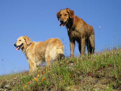 Zack and Ren. Goldens sure make nice photo ops against the blue sky!