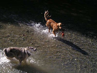 Ren carried his toy almost the whole hike. Retrievers are so--retrieverful. Tika shakes off the stream and goes in for more.
