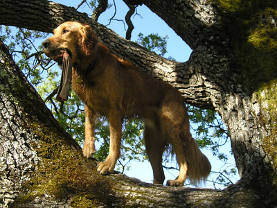 Ren in a tree (Goldennia Arboratum). Still holding his toy.