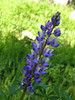 "Wildflowers were wonderful. This is one of many fields of < a href=""http://tinyurl.com/ckmc78"">varieties of lupines, most native to California</a>. My human escorts were extremely patient with me snapping photos of everything and with my hoity toity attempts to identify every flower to them. I'm sure they're grateful."