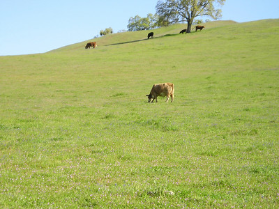 Peaceful cows on hills. The Border Collie DID come back when called off the cows.