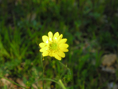 Best I could get on the flower that is probably California Buttercup (Ranunculus californicus).