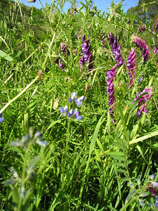 Teeny lupines (probably Miniature Lupines, Lupinus bicolor) with vetch (probably Hairy Vetch, Vicia villosa, an invasive nonnative, but pretty!).
