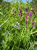 "Teeny lupines (probably <a href=""http://en.wikipedia.org/wiki/Miniature_lupine"">Miniature Lupines</a>, <i>Lupinus bicolor</i>) with vetch (probably <a href=""http://en.wikipedia.org/wiki/Vicia_villosa"">Hairy Vetch</i>, <i>Vicia villosa</i>, an invasive nonnative, but pretty!)."