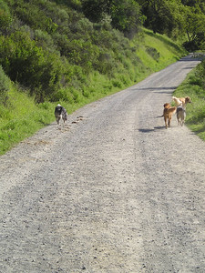 All four dogs desperately wanted to know what was ahead and had to run back and forth impatiently many times.