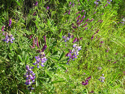 More lupines and vetch. Love all that purple!