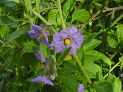 Blue witch AKA purple nightshade (Solanum umbelliferum). California native.