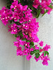 Bougainvillea stun me with their beauty and color every time we have a close encounter.