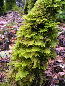 Another--smaller--tree overcome with moss.