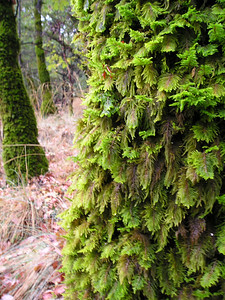 Constant bathing with fog enables amazingly thick, fernlike mosses to grow on most of the trees. We keep climbing.