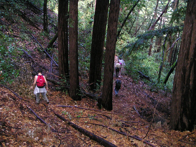 On the way out, we encountered several redwood groves. Redwoods primarily grow up around the base of the original giant parent. These 6 trees might show the diameter of an ancient ancestor.
