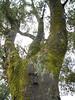 Outside the school, a beautiful huge old oak. Mossy. Woodside is well inside the coastal fog shadow.