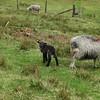 Cute little black lamb near the car park