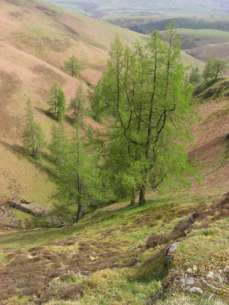 Larches just coming into leaf by White Beck, on the descent from Little Man