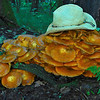 large colony of fungi with my hat for scale