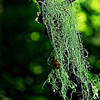 Lichen hanging almost like Spanish moss