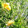 Leopard lilies.