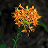 Yellow-fringed Orchid (Platanthera ciliaris)