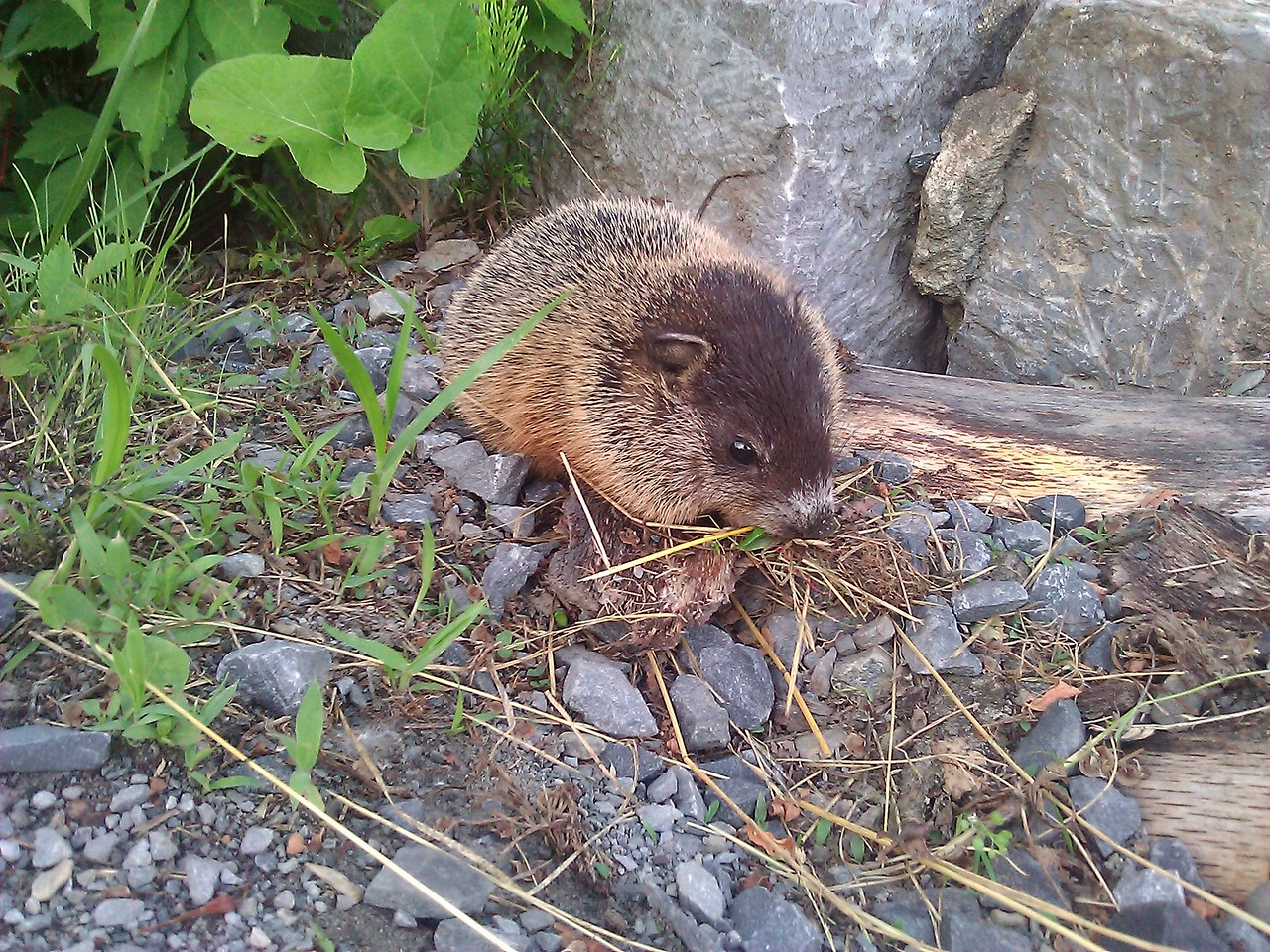 "This baby groundhog was at the base of the bridge. We nearly stepped on him. I did not have my camera so this was actually taken with my cell phone with 0x magnification. I kept snapping pictures and then getting closer. This was the closest at 8"" away. I figured I did not want a two month supply of rabies shots with a horse needle in the stomach so I did not want to get TOO close."