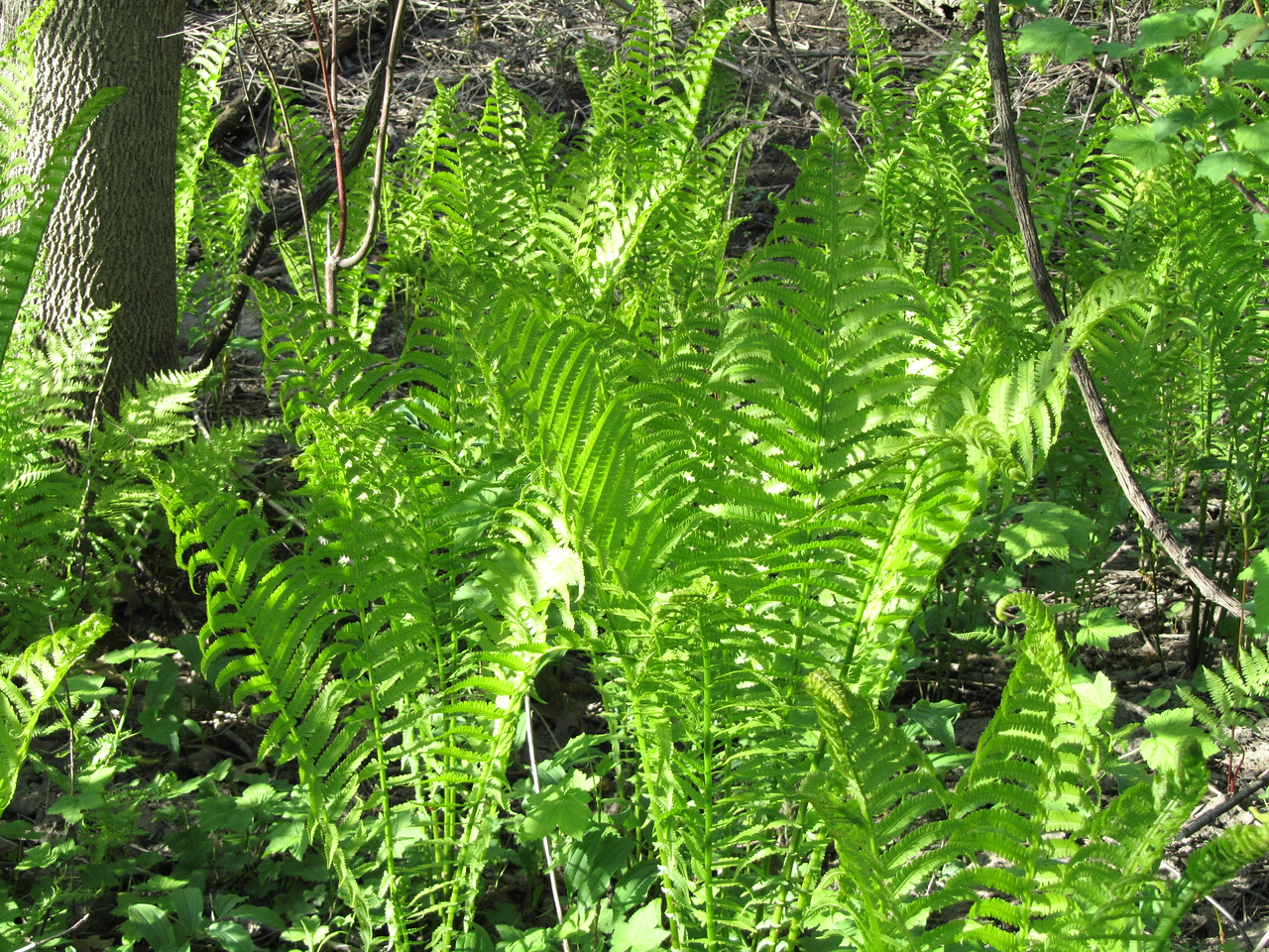 Ostrich fern. Too late in the season to eat the fiddleheads but I will be back next year and put you in my belly.
