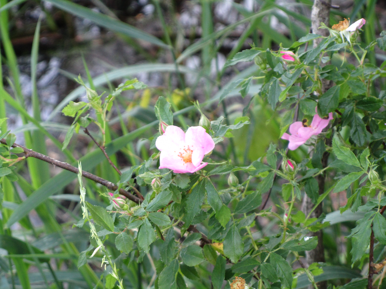 Wild Rose along the banks of the Canal. Guessing someone planted it here 100 years ago.