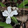 Closeup of white form dwarf crested iris. On the drive in I saw this on the bank