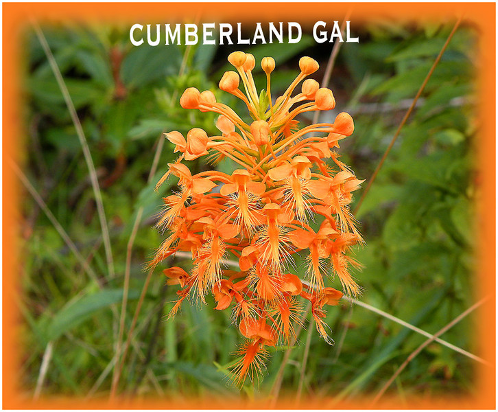 yellow fringed orchid<br /> native orchid<br /> cumberland gal banner