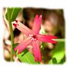 Fire pink closeup