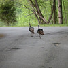 Two jakes trotting off down White Cave Rd.
