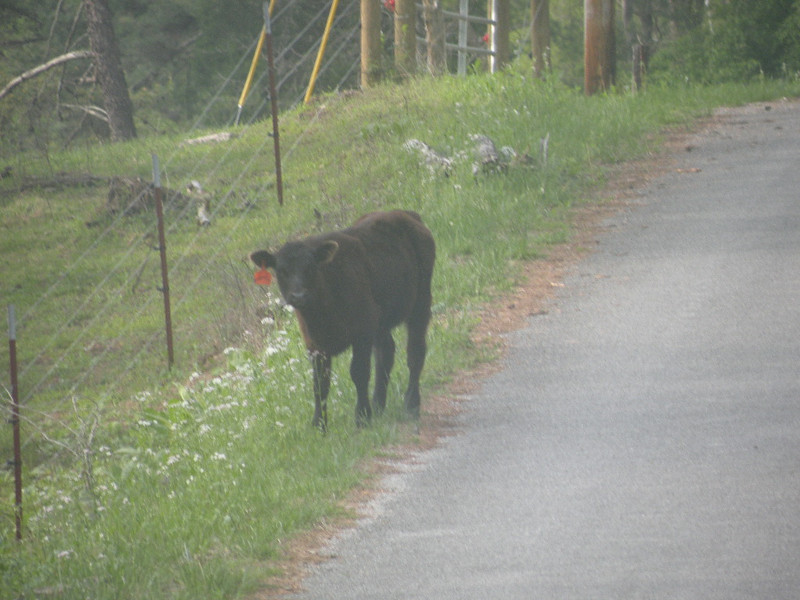 Saw this calf had gotten out of the pasture and was hitch hiking.