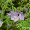 Purple Phacelia is in the waterleaf family