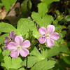 Wild Geraniums in Camps Gulf