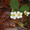 Wild Strawberry Blossoms at Savage Gulf