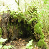 Rotten tree stump provides a home for mosses and ferns.
