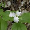 T. grandiflora