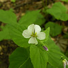 Canada Violet in Savage Gulf