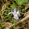 Dwarf Crested Iris beside a spring on White Cave Road.