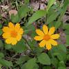sunshiney yellow coreopsis