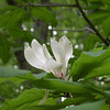 magnolia bloom just down from the first drop of Dry Falls.<br /> <br /> This may be big leaf magnolia.. it is not frasers
