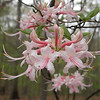 Pink Shell azalea was in bloom all around Fall Creek Falls and the Cumberland Plateau. Best display was seen in Bledsoe State Forest.