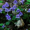 Beaked Violet (Viola rostrata)