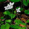 Northern White Violet (Viola macloskeyi ssp. pallens)