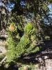 A purple pine cone on a Bristlecone Pine. 7/31/04