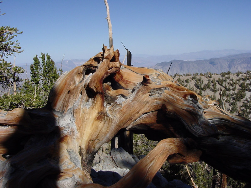 A really cool Bristlecone Pine that we found along the trail. 7/31/04